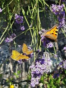 Overal bloemen, dus overal vlinders
